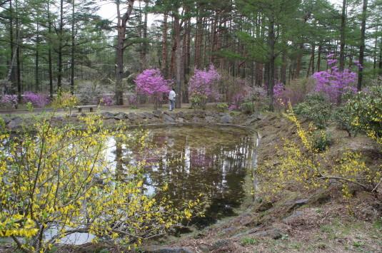 河口湖 ミツバツツジ 池