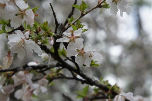 河口湖 ミツバツツジ 富士桜