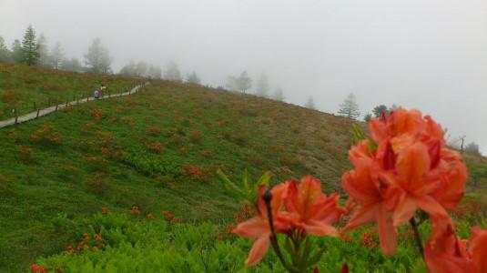 レンゲツツジ 甘利山 山頂へ