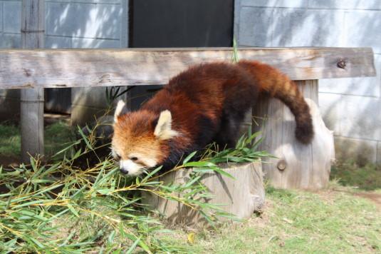 遊亀公園 レッサーパンダ