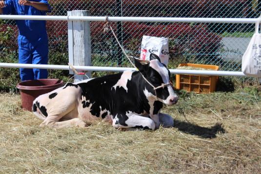 富士ヶ嶺ファームフェスタ 牛美人コンテスト 座り牛