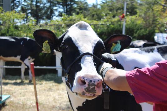 富士ヶ嶺ファームフェスタ 牛美人コンテスト 振り向く牛