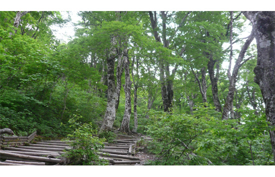 ブナ林の中の登山道
