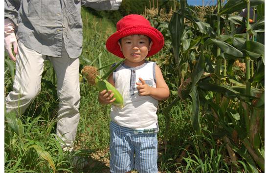 トウモロコシ収穫2