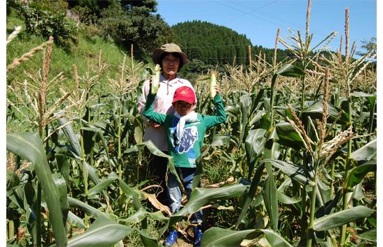 トウモロコシ収穫1