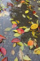 20121126 水たまりの落ち葉