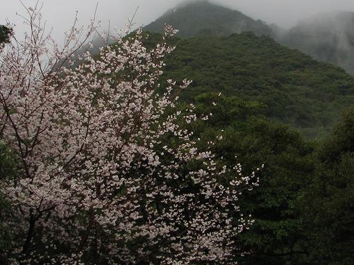 千尋滝の桜1