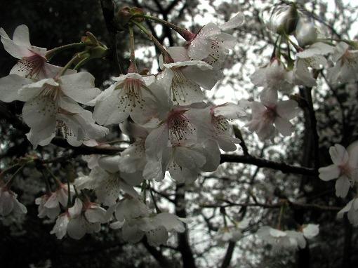 千尋滝の桜2