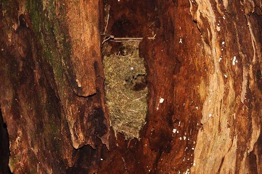 コケで造られたミソサザイの巣(昨年)