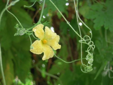flower of goya 20130824s