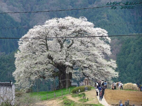 2427醍醐桜電線が邪魔!120421