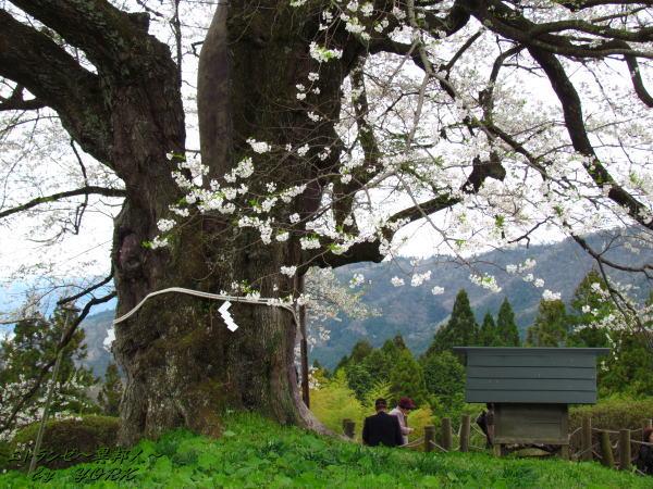 2440醍醐桜と社120421