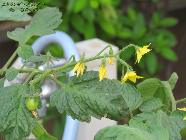 3151トマトの花120528