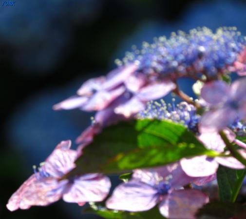 スマホ用 3603額紫陽花ソフトフォーカス960×854