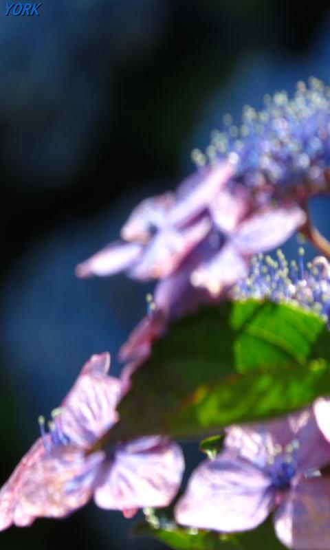 携帯用 3603額紫陽花ソフトフォーカス480×800