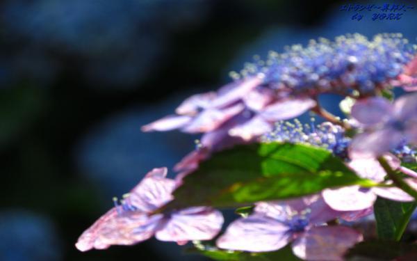 壁紙 3603額紫陽花ソフトフォーカス1280×800