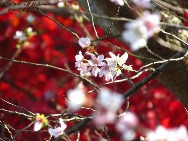 5412四季桜と紅葉121125