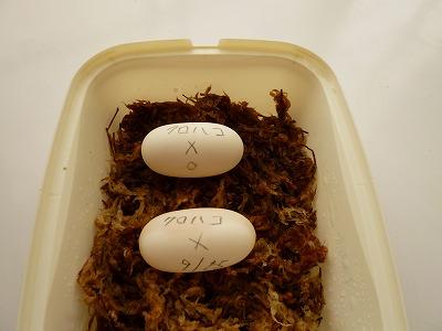 クロハコヨコクビガメの卵
