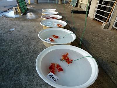 金魚の出荷
