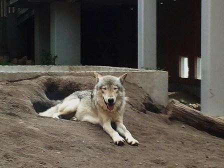 オオカミ3