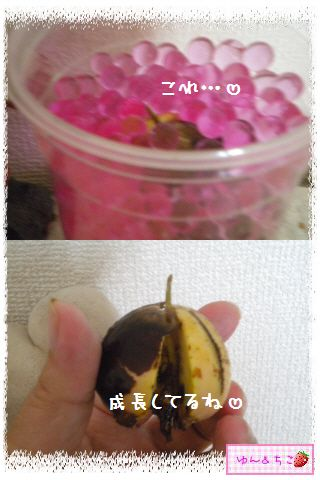 ちこちゃんのアボカド観察日記★17★あれっ…変化してましゅ-6