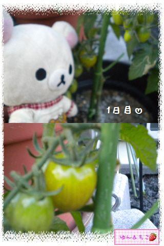 トマト観察日記★14★照れ度UPでしゅ~-1