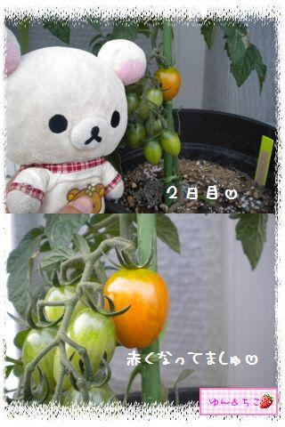 トマト観察日記★14★照れ度UPでしゅ~-2