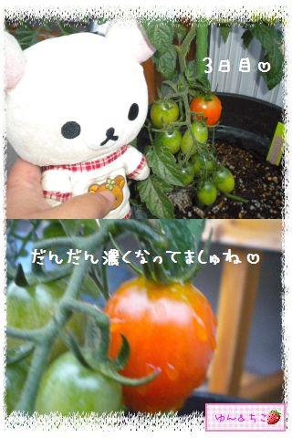 トマト観察日記★14★照れ度UPでしゅ~-3