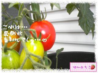 トマト観察日記★14★照れ度UPでしゅ~-4