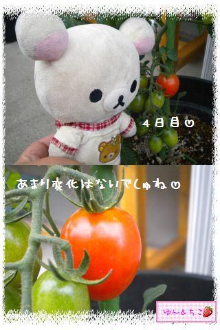 トマト観察日記★14★照れ度UPでしゅ~-5