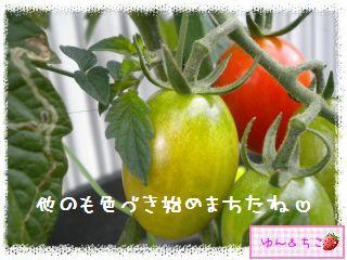 トマト観察日記★14★照れ度UPでしゅ~-6