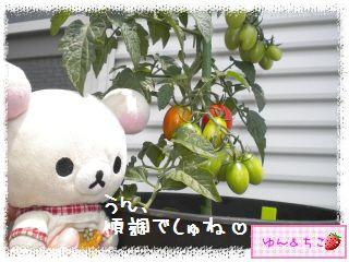 トマト観察日記★14★照れ度UPでしゅ~-7