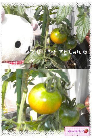 トマト観察日記★14★照れ度UPでしゅ~-8