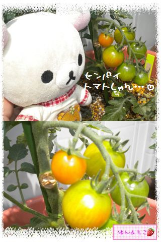 トマト観察日記★14★照れ度UPでしゅ~-9