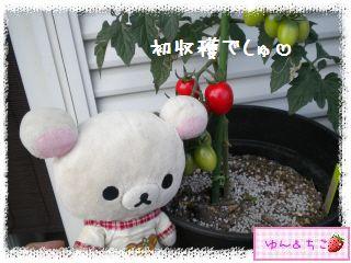 トマト観察日記★15★初収穫~-2
