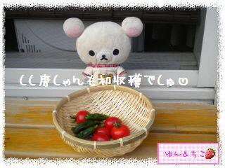 トマト観察日記★15★初収穫~-5