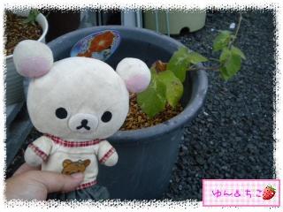 今年も始めました♪あさがお観察日記2013★1★-3