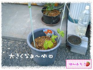 今年も始めました♪あさがお観察日記2013★1★-5