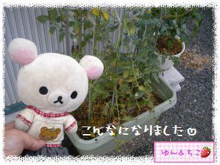 トマト観察日記★16★わき芽しゃんの生命力-2