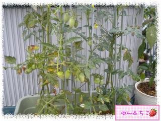 トマト観察日記★16★わき芽しゃんの生命力-3