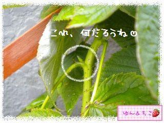 ちこちゃんのラズベリー観察日記★1★-5