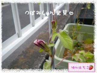 あさがお観察日記2013★2★つぼみしゃん発見-3