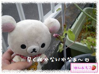 あさがお観察日記2013★2★つぼみしゃん発見-4