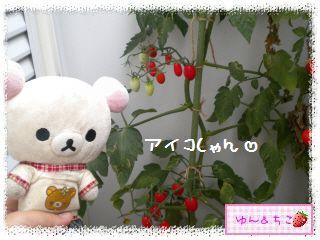 トマト観察日記★17★ベランダのトマトしゃん♪-2