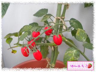 トマト観察日記★17★ベランダのトマトしゃん♪-3