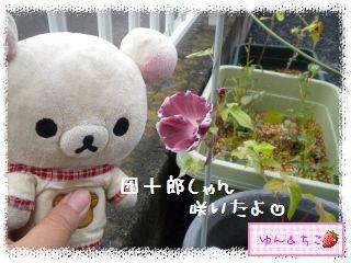 あさがお観察日記★3★咲いたよ~-1