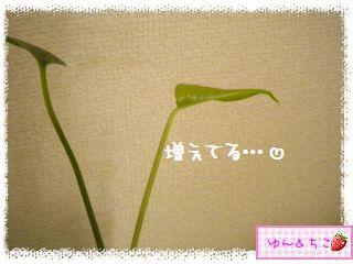 ちこちゃんの観葉植物観察日記★4★ぐ~ん-4