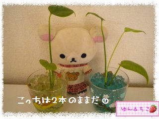 ちこちゃんの観葉植物観察日記★4★ぐ~ん-6