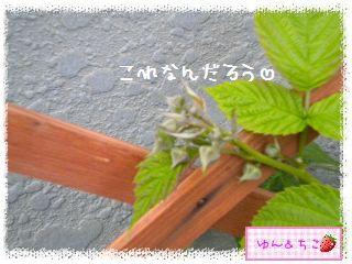 ちこちゃんのラズベリー観察日記★2★-2