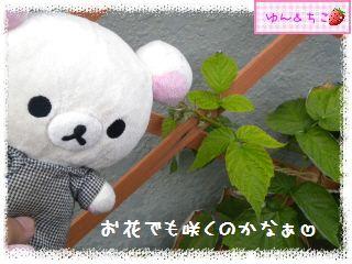 ちこちゃんのラズベリー観察日記★2★-3